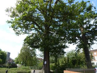 An image relating to WGC tree to be felled due to significant decay